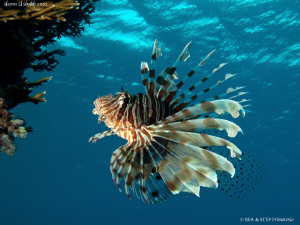 One more Lionfish... Sharm el sheikh. Canon G10 &amp; Inon D2... by Bea &amp; Stef Primatesta 